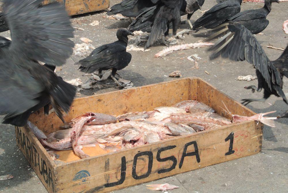 Geier fressen Fisch auf einem Markt