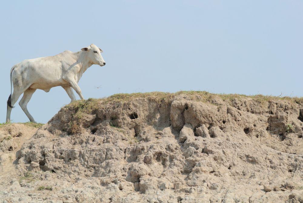 Weißes Brasilianisches Rind